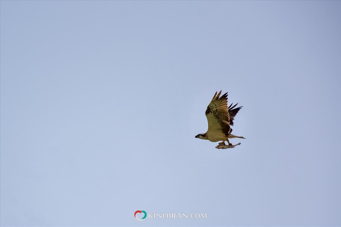 عقاب ماهیگیر