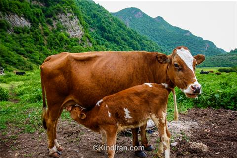 Cows and her Calf