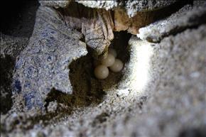 تخم گذاری لاکپشتهای پوزه عقابی