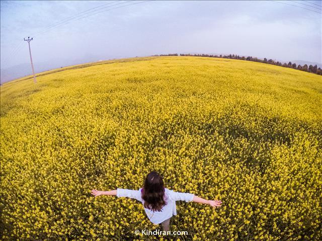 yellow Flowers Garden, Izeh